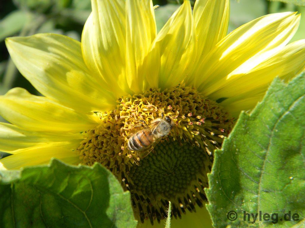 Sonnenblume Bild