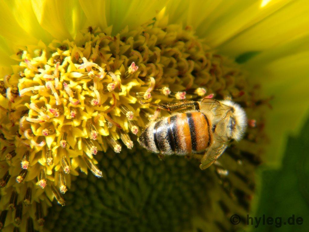 Sonnenblumen biene