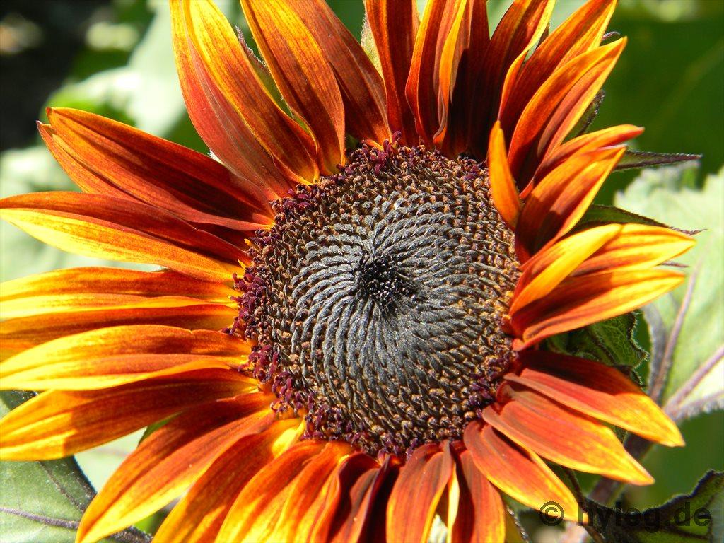 Sonnenblumenbilder