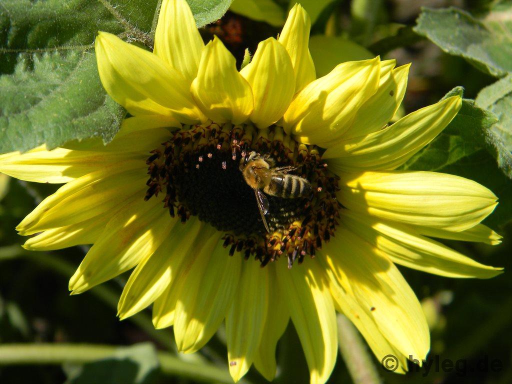 Sonnenblumen gelb