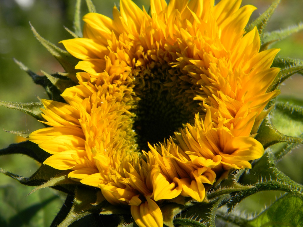 Sonnenblumen Bild