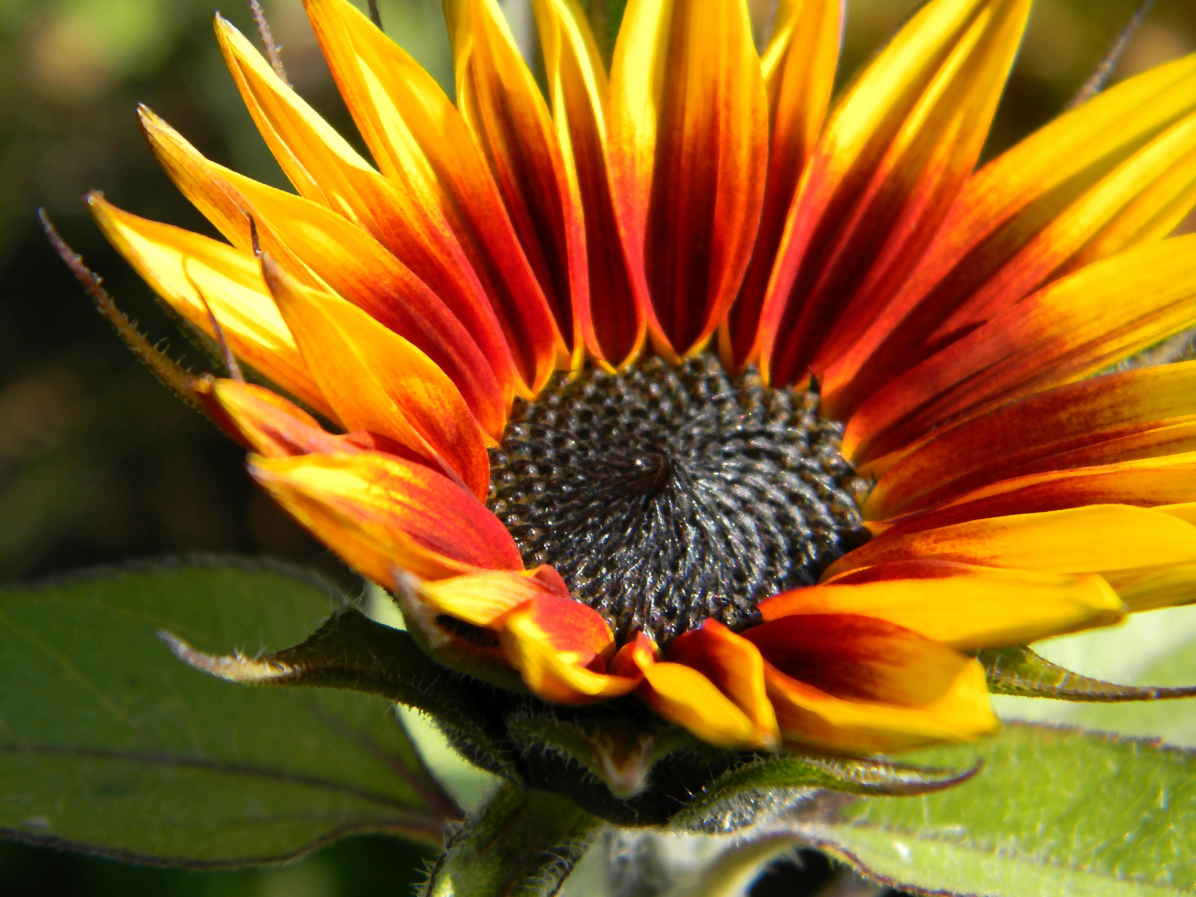 Sonnenblumen rot